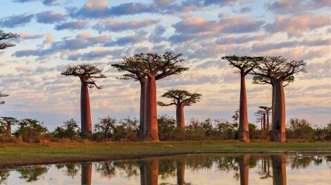 5 Baobab trees in Toliara Province, Madagascar. reflective water in front and cloudy sky.