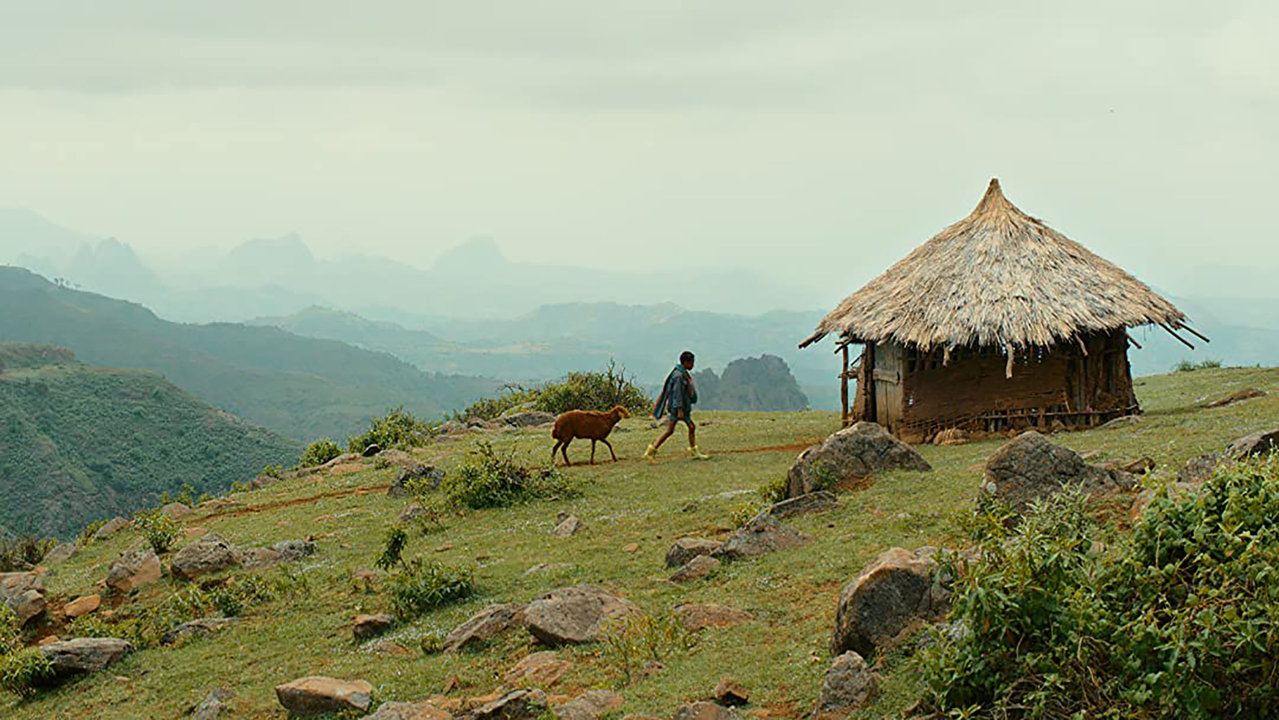 Movie Lamb Ethiopia boy walking on green grass towards hut rust colored sheep following him craggy hills in distance