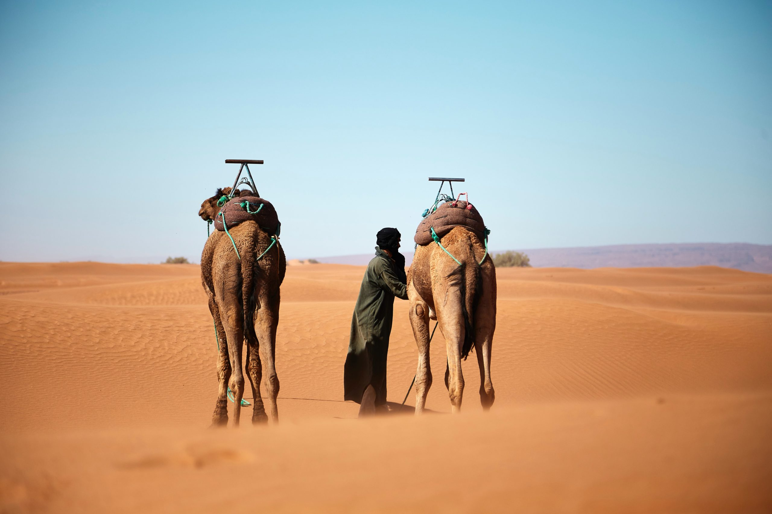 Two saddled camels walk into the vast sand dune landscape of the Sahara Desert with their robe clothed handler