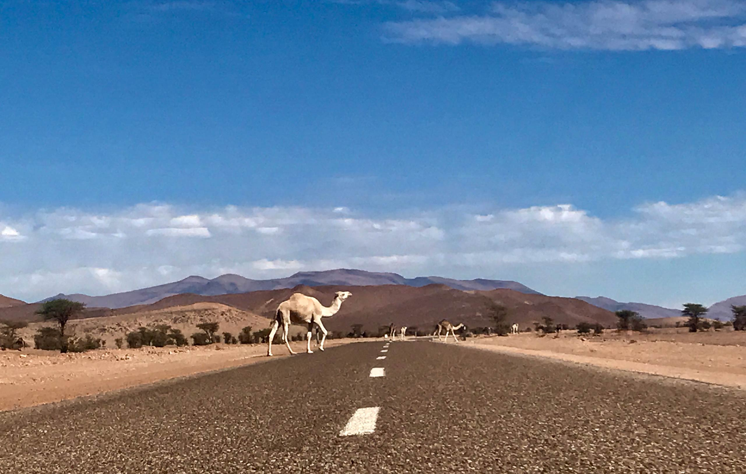 A camel crosses the road in the desert in Morocco
