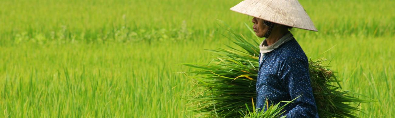 Rice Harvest - Vietnam